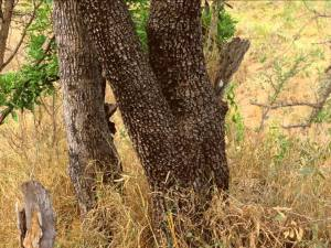 Do you see the leopard